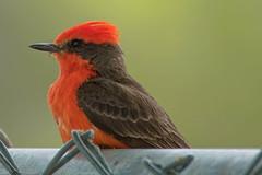 Vermillion Flycatcher (Kukui Photography) Tags: bird vermillion flycatcher arizona rolling hills park tucson rollinghillspark vermillionflycatcher