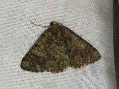 Aeolochroma rhodochlora (dhobern) Tags: 2019 april australia lamingtonnationalpark lepidoptera queensland geometridae geometrinae aeolochromarhodochlora