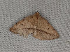 Taxeotis epigaea (dhobern) Tags: 2019 april australia lamingtonnationalpark lepidoptera queensland geometridae oenochrominae taxeotisepigaea