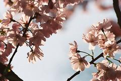 no title (biancarosa.looman) Tags: analog handheld blossom spring pink canon kodakfilm