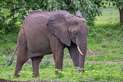 Саванный слон, Loxodonta africana, African Savanna Elephant (Oleg Nomad) Tags: саванныйслон loxodontaafricana africansavannaelephant животные африка замбия луангва сафари animal zambia africa safari travel