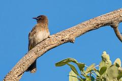Трёхцветный бюльбюль, Pycnonotus tricolor, Dark-capped Bulbul (Oleg Nomad) Tags: птицы замбия африка bird aves africa zambia трёхцветныйбюльбюль pycnonotustricolor darkcappedbulbul