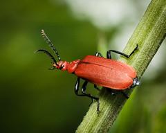 Pyrochroa serraticornis - Red-headed Cardinal Beetle (mickmassie) Tags: hanworth littlepark