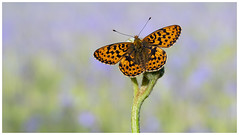 Pearl Bordered Fritillary (nigel kiteley2011) Tags: pearlborderedfritillary butterfly butterflies lepidoptera macro nature insects canon 5dmk3