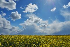 rapeseed (Jos Mecklenfeld) Tags: raps koolzaad clouds wolken landscape landschaft landschap laude westerwolde groningen netherlands niederlande nederland spring frühling lente sonya6000 sonyilce6000 sonyepz1650mm selp1650 rapeseed