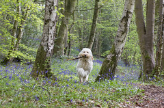 Found a stick, coming through! (Chickpeasrule) Tags: bluebells woods woodland spring evie goldendoodle bouncing stick happy bokeh