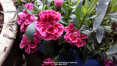 Carnation 'Oscar' flowering on balcony 16th May 2019 (D@viD_2.011) Tags: carnation oscar flowering balcony 16th may 2019