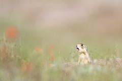 Desert Alarm Call (Amy Hudechek Photography) Tags: prairie dog wildlife nature alarm call colorado spring amyhudechek