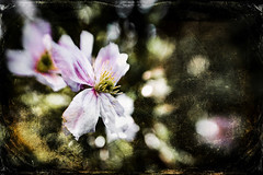 Clematis (judy dean) Tags: judydean 2019 garden lensbaby texture ps clematis montana pink