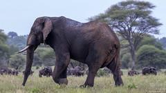 African Bush Elephant (Loxodonta africana) Tarangire National Park, Tanzania 2019 (Ricardo Bitran) Tags: loxodontaafricana africanbushelephant tarangirenationalpark tanzania mammalsoftanzania