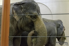 Elephant Lunch (robfrizzy) Tags: animals elephant