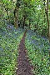 20190501 0139 Bluebell Wood Llanerchaeron near Aberaeron Ceredigion SA48 8DG Mid Wales (rodtuk) Tags: cameramodel canon5div flipublic flickr flower misc nt nature phototype plant rodt roderict roderickt tree wip iphone8