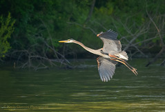 Great Blue Heron (Kevin James54) Tags: lakegalena nikond850 peacevalleypark tamron150600mm animals ardeaherodias avian bird greatblueheron heron kevingianniniphotocom