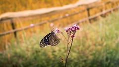 Papillon des Champs (Alain@BlueSunset) Tags: butterfly papillon macro vietnam fleur flower champ field nature jaune yellow green vert barrière fens