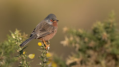 Dartford Warbler (Distinctly Average) Tags: phillluckhurst distinctlyaverage wwwdistinctlyaveragecouk wildlife surrey thursley bird dartfordwarbler handheld 7dmark2 100400ii canon