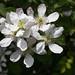Rubus pensilvanicus, Wild Blackberry