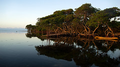 Red Mangrove (Eddie La Mole) Tags: redmangrove pozuelo beach trees sea reflection guayama puertorico