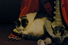 137 - 365 ophelia and tony (horsesqueezing) Tags: cat ophelia skeleton 365 bonytony
