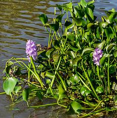 water lilly.Usumacinta River.near Villahermosa (Sonnie in Silver) Tags: river waterlillies villahermosa usumacintariver mexico tobascostate flowers plants