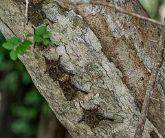 Itty bitty bats.Usumacinta River.near Villahermosa (Sonnie in Silver) Tags: bats mexico villahermosa tobascostate usumacintariver river anmials