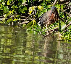 Little Green Heron.Usumacinta River.near Villahermosa (Sonnie in Silver) Tags: mexico greenheron heron bird river usumacintariver villahermosa tobascostate