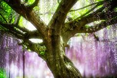 By the Roots (moaan) Tags: tamba hyogo japan tree trunk treetrunk wisteria oldwisteriatree flower flowering flora wisteriaflowers focusonforeground selectivefocus dof leica leicamp type240 noctilux 50mm f10 noctilux50mmf10 leicanoctilux50mmf10 bokeh bokehphotography utata 2019