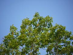 baltimore oriole (Thundercheese) Tags: rockcreekpark washington dc bird oriole