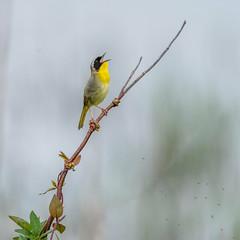 Common Yellowthroat (Kevin E Fox) Tags: commonyellowthroat geothlypistrichas bombayhookwildliferefuge delaware bird birdwatching birding birds birdphotography sigma150600sport sigma nature nikond500 nikon