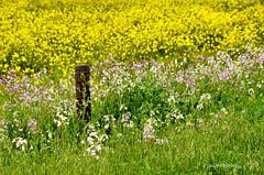 WHERE FENCES DON'T MATTER ... (DSC_0747) (jmaphotography) Tags: smileonsaturday fancyfences springtime wildflowers fence fencefriday