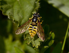 Hoverfly (Chrysotoxum cautum ) (Severnrover) Tags: chrysotoxum cautum hoverfly large insect may spring uk great britain bradley stoke