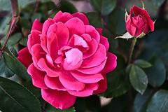 (Desmojosh) Tags: canon m50 rose red flower ef 70200mm f28l close macro