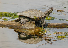 Large Turtle (lablue100) Tags: turtle animals animal shell water reflections sunning snapper legs action seaweed lake nature landscapes