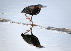 Green Heron (lablue100) Tags: birds bird heron greenheron water reflections nature action legs colors