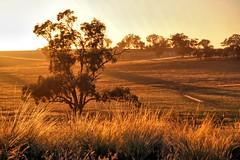 As the sun rises. (Ian Ramsay Photographics) Tags: cumnock newsouthwales australia nature announces