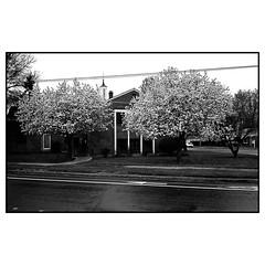 Blooms (DennisTheBrown) Tags: 35mmlens 35mmvoitlander tmax shootfilm filmisnotdead 35mmfilm film blooms blackandwhite rangefinder leicam2 tmax400 kodak