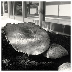 rolleiC-Acros-rodinal-1+50-P-301 (device9) Tags: bw analogue analog monochrome blackandwhite shadow contrast landscape wood trix tree rolleicord fungus mushroom fujiacros100 rodinal