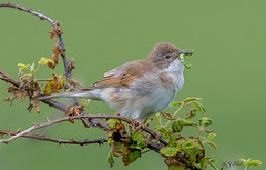 DSC5165  Whitethroat.. (Jeff Lack Wildlife&Nature) Tags: whitethroat birds bird avian animal animals wildlife wildbirds wetlands woodlands wildlifephotography jefflackphotography brambles songbirds summermigrant warbler warblers hedgerows heathland heathlands heaths moorland marshland meadows marshes moors countryside copse glades nature