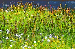 A photo that looks like a painting ... (Taken by my pushing the wrong camera button!) (Gerlinde Hofmann) Tags: germany thuringia village bürden dandelion faded meadow buttercup explore