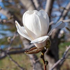 Spring Blossom, Duluth Rose Garden 5/16/19 #flowers #trees (Sharon Mollerus) Tags: duluth mn cfptig19