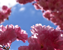 Pink Chiffon (nrg_crisis) Tags: flowers spring tree sky outdoors nikond5600 pinkchiffon depthoffield macro