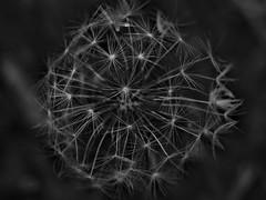 Dandelion BW (oneofmanybills) Tags: dandelion macro flower white black olympus miranda