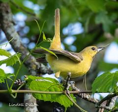 Orchard Oriole (Lindell Dillon) Tags: orchardoriole neotropical birds birding nature oklahoma crosstimbers wldoklahoma