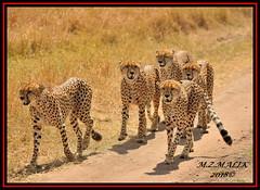 GROUP OF CHEETAHS (Acinonyx jubatus).....MASAI MARA....SEPT, 2018. (M Z Malik) Tags: nikon d3x 200400mm14afs kenya africa safari wildlife masaimara keekoroklodge exoticafricanwildlife exoticafricancats flickrbigcats cheetah acinonyxjubatus ngc npc