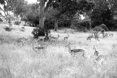 Impalas, South Africa (Jordan Barab) Tags: southafrica malamalagamereserve impalas safari blackandwhite bw sonydscrx100markiii