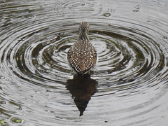 Solitary Sandpiper - Ripple Effect (annette.allor) Tags: solitary sandpiper bird pond water wildlife nature
