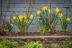 Daffodils (A Great Capture) Tags: flowers toronto brick wall spring daffodils ontario canada photographer canadian northamerica printemps springtime on agc 2019 ald jamesmitchell ash2276 adjm ashleylduffus torontoexplore wwwagreatcapturecom agreatcapture mobilejay danforth