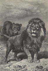 Beautiful Cape Lion wood engraving - from Brehm's Life of Animals, Tierleben 1864, Alfred Edmund Brehm 1892 edition (Sabri KARADOĞAN) Tags: lion from brehms life animals tierleben 1864 alfred edmund brehm 1892 edition beautiful wood engraving cape