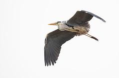Héron cendré (kingfisher001) Tags: héroncendré ardeacinerea échassier oiseaux pélécaniformes ardéidés envol