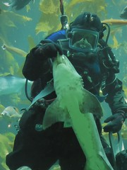 Monterey, CA, Monterey Aquarium, Feeding the Residents of the Kelp Forest, Shark (Mary Warren 13.6+ Million Views) Tags: montereyca montereyaquarium nature fauna flora plants kelp diver shark fish