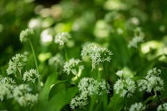 Wild Garlic (Future-Echoes) Tags: 4star 2019 bokeh depthoffield flowers markshall nature shade wildgarlic